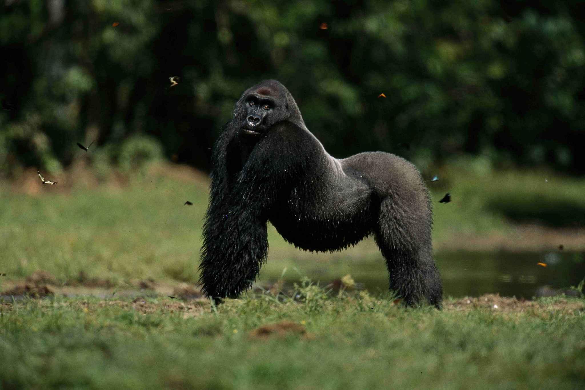 odzala kokoua gorille