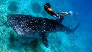 plongeur requin baleine