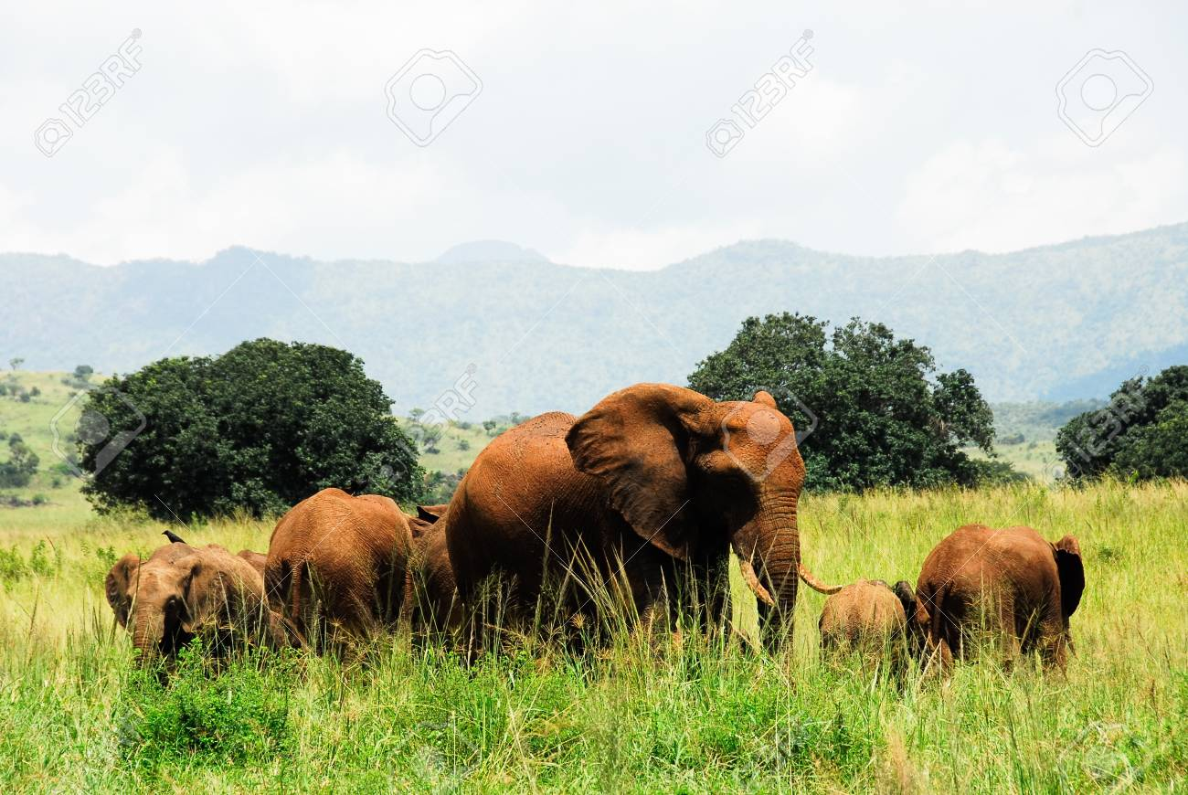 éléphants vallée kidepo