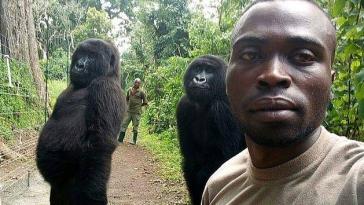 congo gorilles selfie