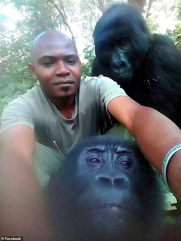 gorilles selfie congo