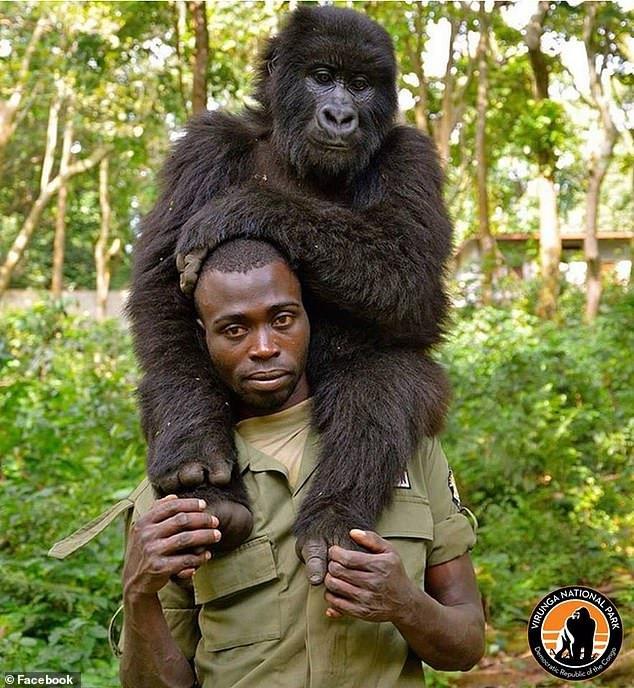 selfies congo gorilles