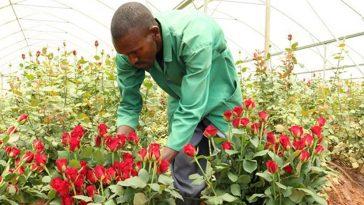 roses rwanda