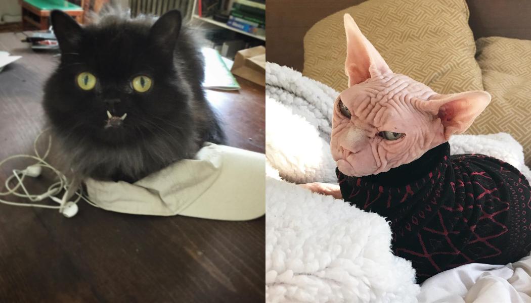 chats les plus moches du monde