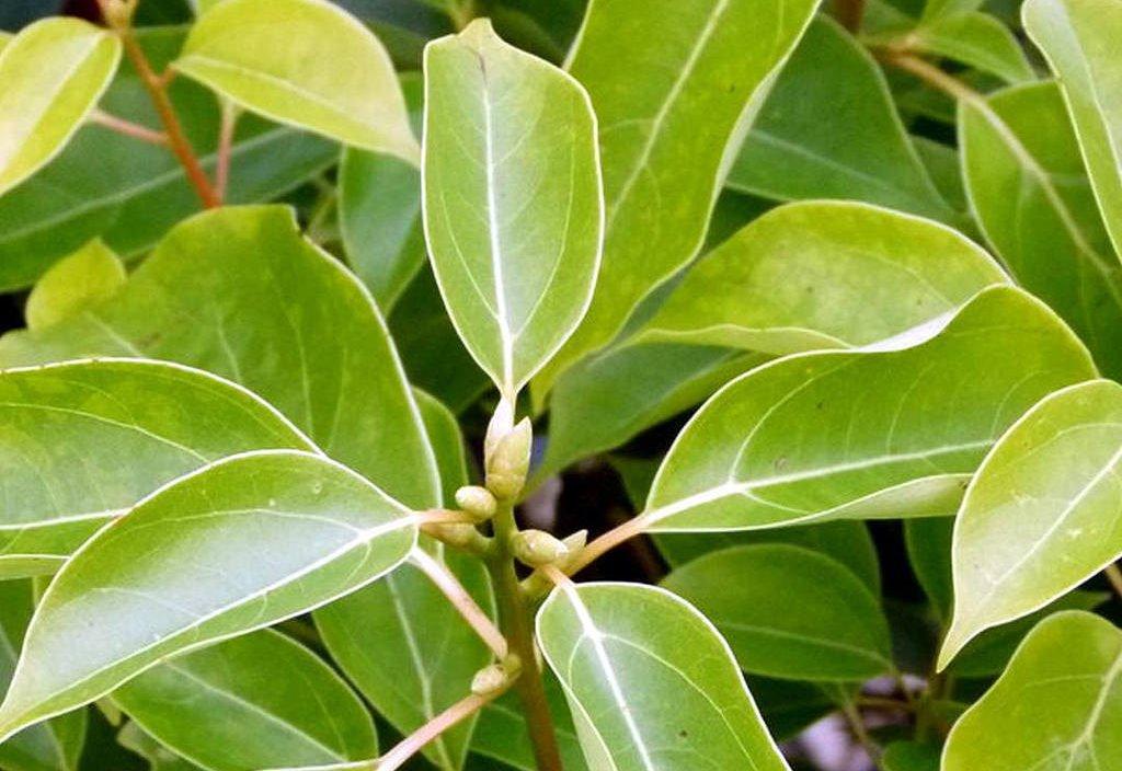 ravintsara feuilles