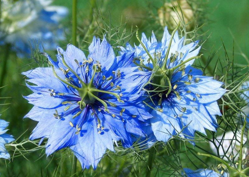 Nigelle fleur